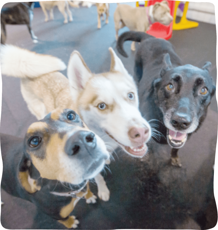 3 large dogs enjoy daycare near reston va and germantown md